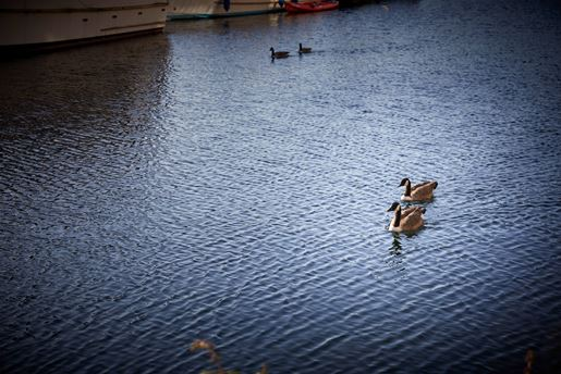 Geese swimming along a canal in the sun.